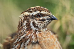Common quail. The detail of common quail Royalty Free Stock Photos