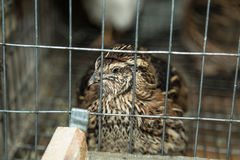 Common Quail Stock Images