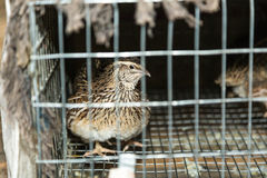 Common Quail Royalty Free Stock Images