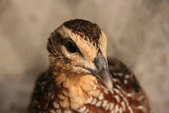 Common Quail (Coturnix coturnix) Stock Photo