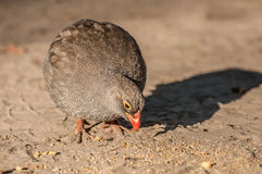 Common Quail Feeding Royalty Free Stock Photo