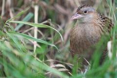 Common quail Royalty Free Stock Photography