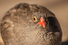 Common Quail Portrait Royalty Free Stock Image