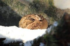Common quail Stock Photography