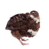 The common quail on white Stock Image