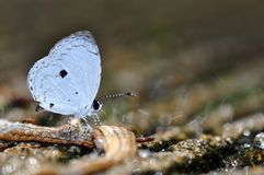 Common  quaker butterfly. Of thailand background Royalty Free Stock Photography