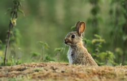 Common rabbit Royalty Free Stock Photography