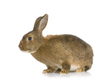 Common Rabbit Royalty Free Stock Photo