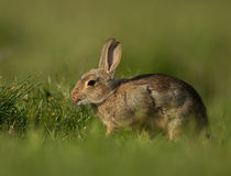 Common rabbit (Oryctolagus cuniculus) Stock Photography