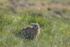 Common rabbit Oryctolagus cuniculus in patagonia Stock Image