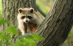 Common raccoon Royalty Free Stock Photography