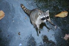 Free Common Raccoon Stock Photography - 47352472