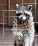 Common raccoon. A common raccoon in captivity royalty free stock photo