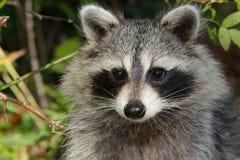 Common Raccoon Royalty Free Stock Image