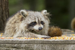 Common raccoon Stock Images