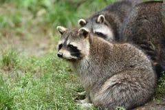 Common raccoon Royalty Free Stock Photo