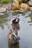 Common raccoon or Procyon lotor. Standing in water Royalty Free Stock Photos