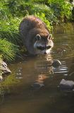 Common raccoon or Procyon lotor Stock Photo
