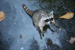 Common raccoon Stock Photography