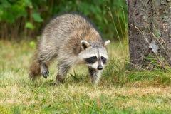 Common Raccoon - Procyon lotor. Common Raccoon walking in the short grass. High Park, Toronto, Ontario, Canada stock image