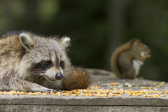 Common raccoon and Squirrel Stock Image
