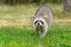 Common Raccoon - Procyon lotor. Common Raccoon walking in the short grass. High Park, Toronto, Ontario, Canada stock photos