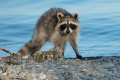Common Raccoon. Young Common Raccoon standing on a stony beach. Lynde Shores Conservation Area, Whitby, Ontario, Canada Royalty Free Stock Photography