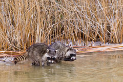 Common Raccoons stock images