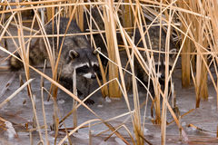 Common Raccoons Royalty Free Stock Photo