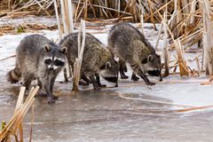 Common Raccoons royalty free stock photos