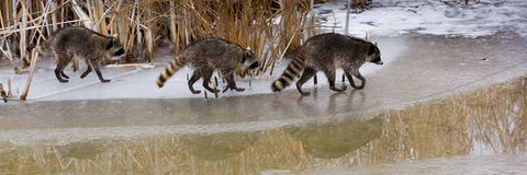 Common Raccoons Stock Image