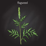 Common ragweed Ambrosia artemisiifolia Royalty Free Stock Photography