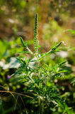 Common Ragweed Stock Images