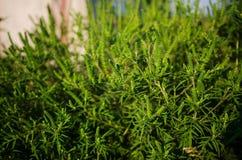 Common Ragweed, ambrosia royalty free stock photo