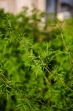 Common Ragweed, ambrosia bush Stock Photos