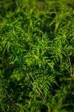 Common Ragweed, ambrosia bush Royalty Free Stock Images