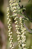 Common Ragweed Flowers  605500 Stock Photo