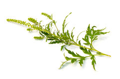 Common Ragweed Stock Photography