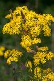 Common Ragwort Jacobaea vulgaris flowering near Ardingly Reser Stock Images