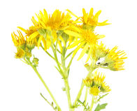 Common ragwort or Jacobaea vulgaris isolated on white background. Medicinal plant Stock Photography