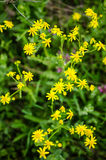 Common ragwort Stock Photography