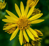 Common ragwort Royalty Free Stock Images