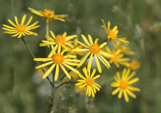 Common Ragwort (Senecio jacobaea) Stock Photos
