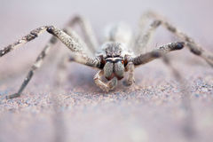 Common rain spider on brick pavement, selective focus Stock Photos