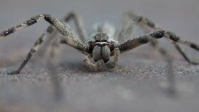 Common rain spider grooming itself Royalty Free Stock Images