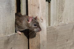 Common rat. View of a common rat poking its head out of a hole in a wooden fence