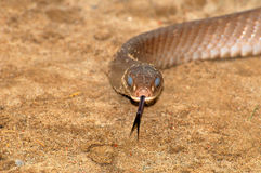 Common rat snake Stock Photo