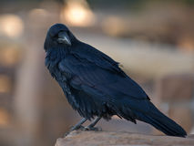 Common Raven. (Corvus corax). Fairview Point, Bryce Canyon National Park, Utah, USA stock photography