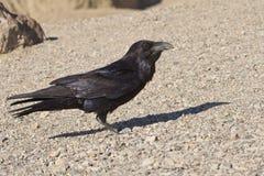 Common Raven Royalty Free Stock Image