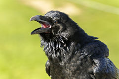 Common Raven Royalty Free Stock Photos